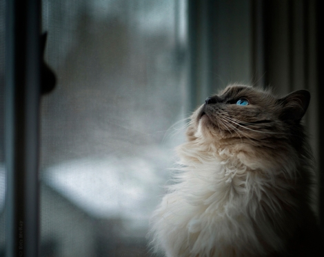 50mm Summicron Bokeh & Blue Eyed Cat