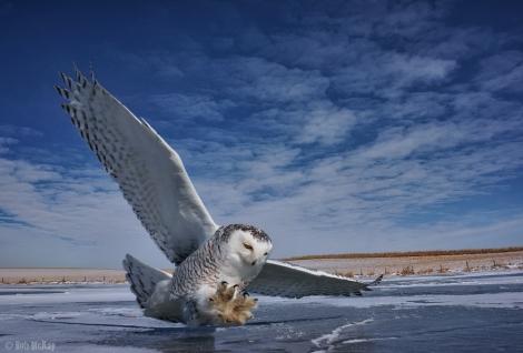 Small Cameras - snowy owls talons inflight + nex7