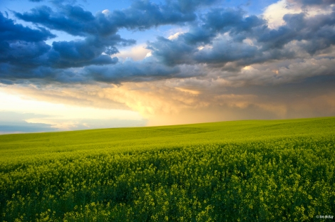 Wicked clouds over canola in the prairies of Alberta