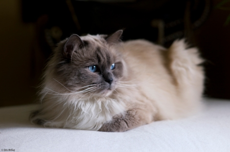 Bokeh Blue Eyed Cat